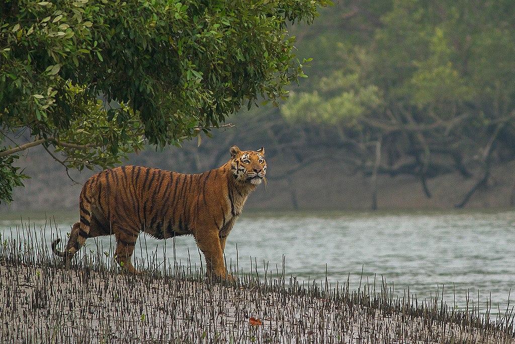 MongoBay_Sundarban_Tiger