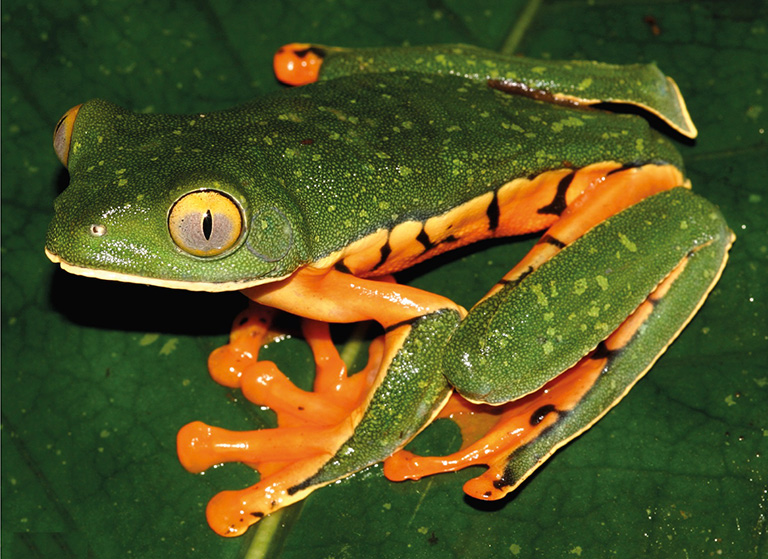 Sylvia's Tree Frog, Cruziohyla sylviae. Photo by Andrew Gray