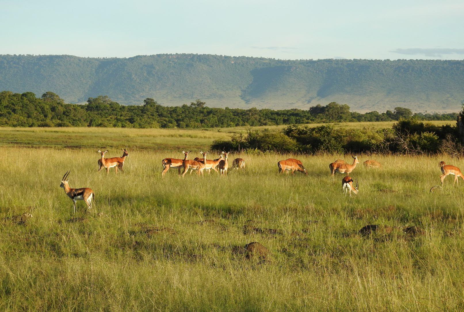Impala graze in the Mara Triangle with the escarpment leading to Tanzania's Serengeti National Park in the background.