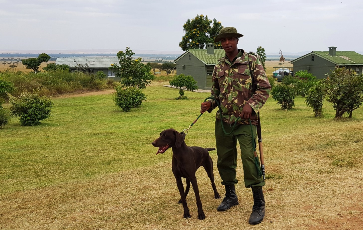 "Short-haired German pointer Asha from Holland, shown here with her handler Anthony Kangethe is the newest member of the Mara Conservancy's detection team and eager to get to work. ""She is very keen,"" said conservancy CEO Brian Heath."