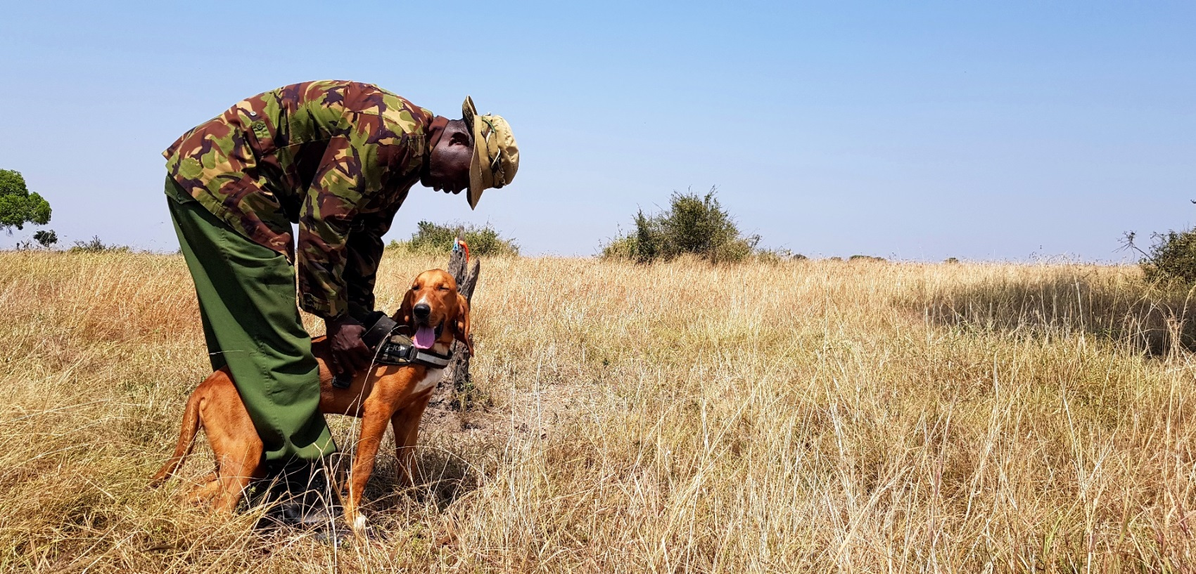 Ten-month-old tracker dog Shakaria, a bloodhound, preparing for her track training.