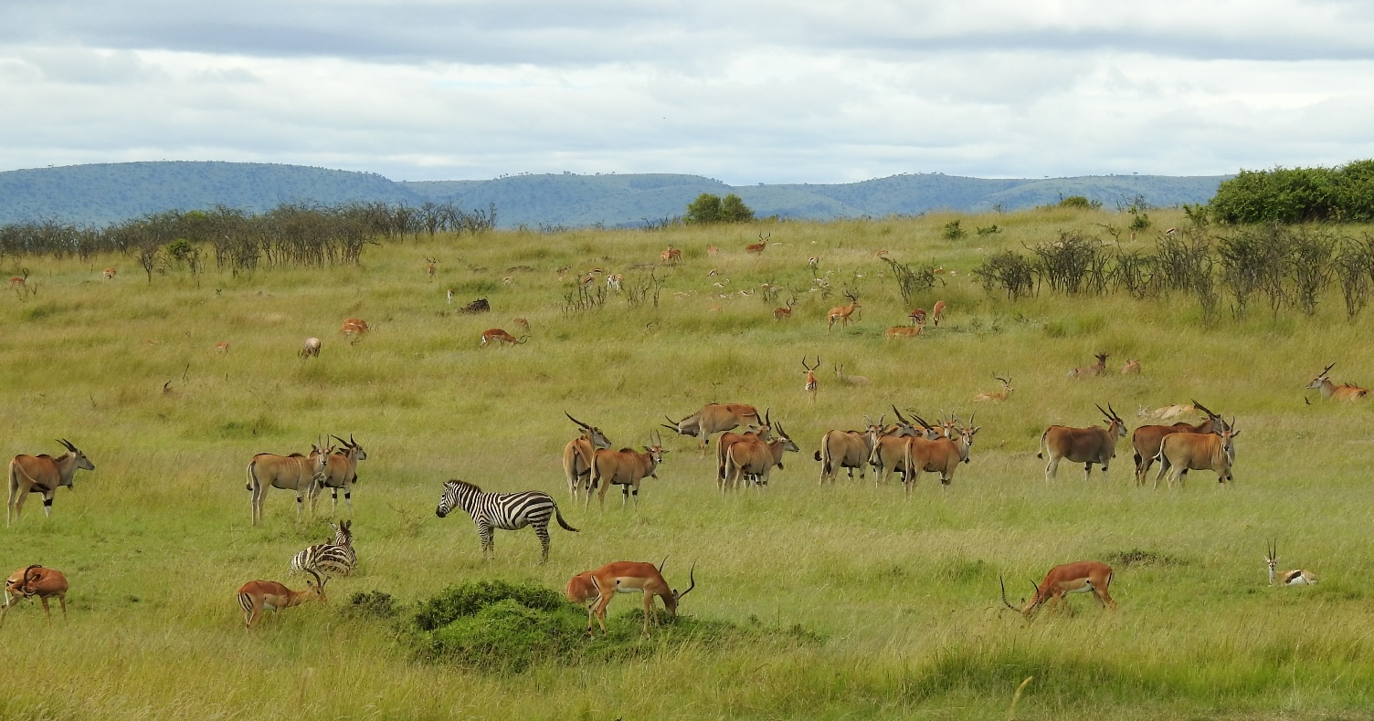Eland, zebra, and impala graze on the vast plains of Maasai Mara. The grass makes finding footprints extremely difficult.