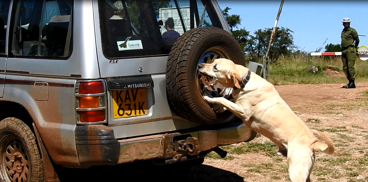 Gage, a dog trained to detect ivory, firearms and ammunition, searches a tourist vehicle in the Mara Triangle, part of Kenya's Maasai Mara National Reserve.