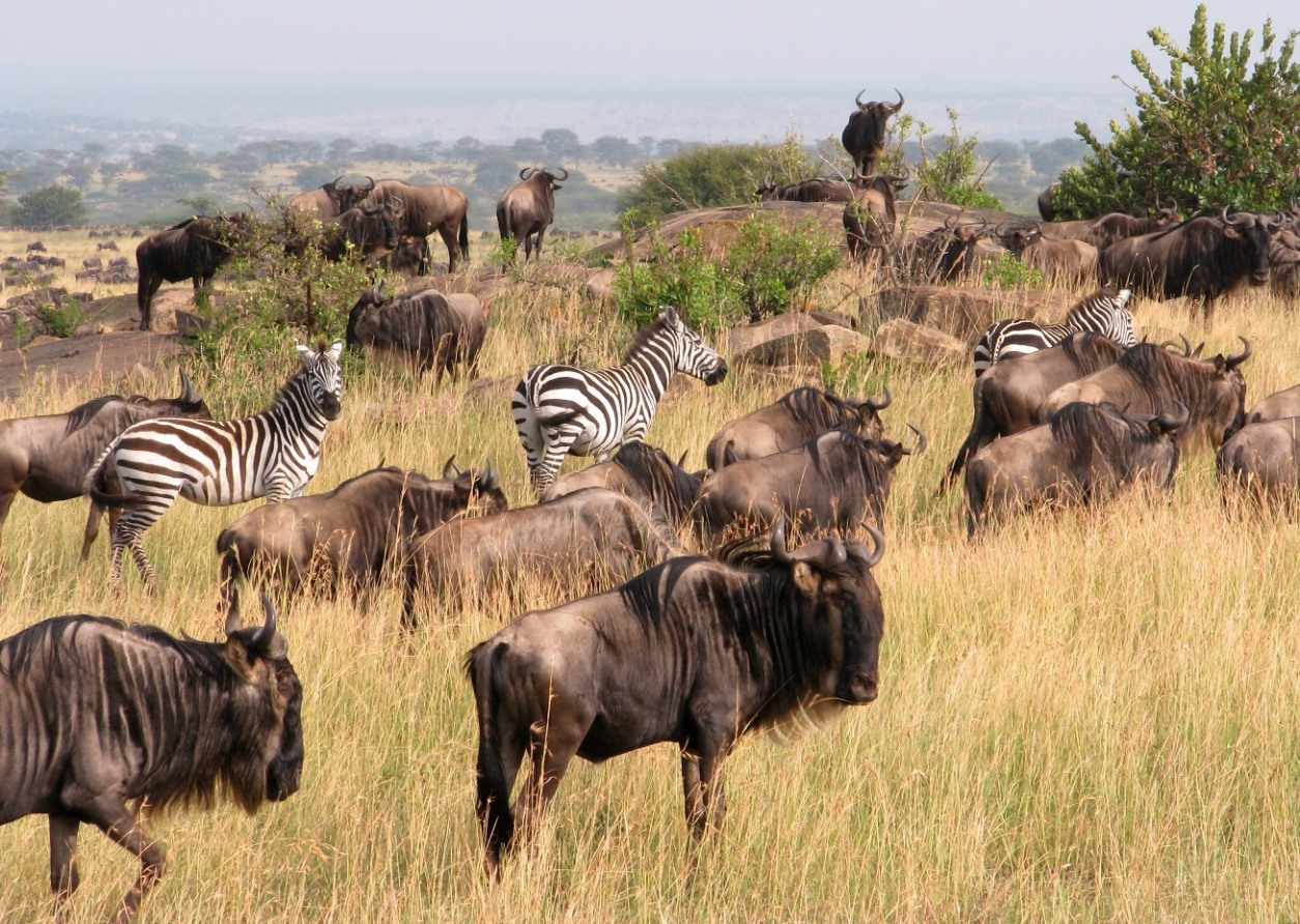 Wildebees and zebra on the move from Tanzania's Serengeti National Park into Kenya's Maasai Mara National Reserve. The annual migration of more than a million animals attracts both tourists and poachers.