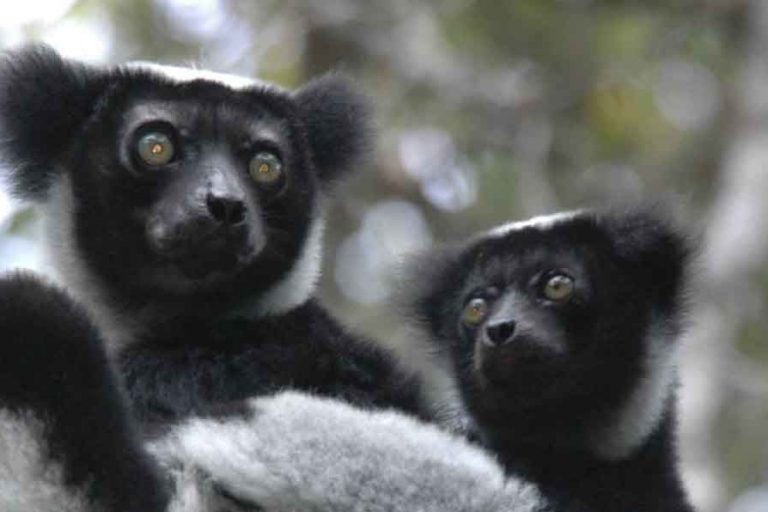 95 percent of all lemur species face high risk of extinction, experts say