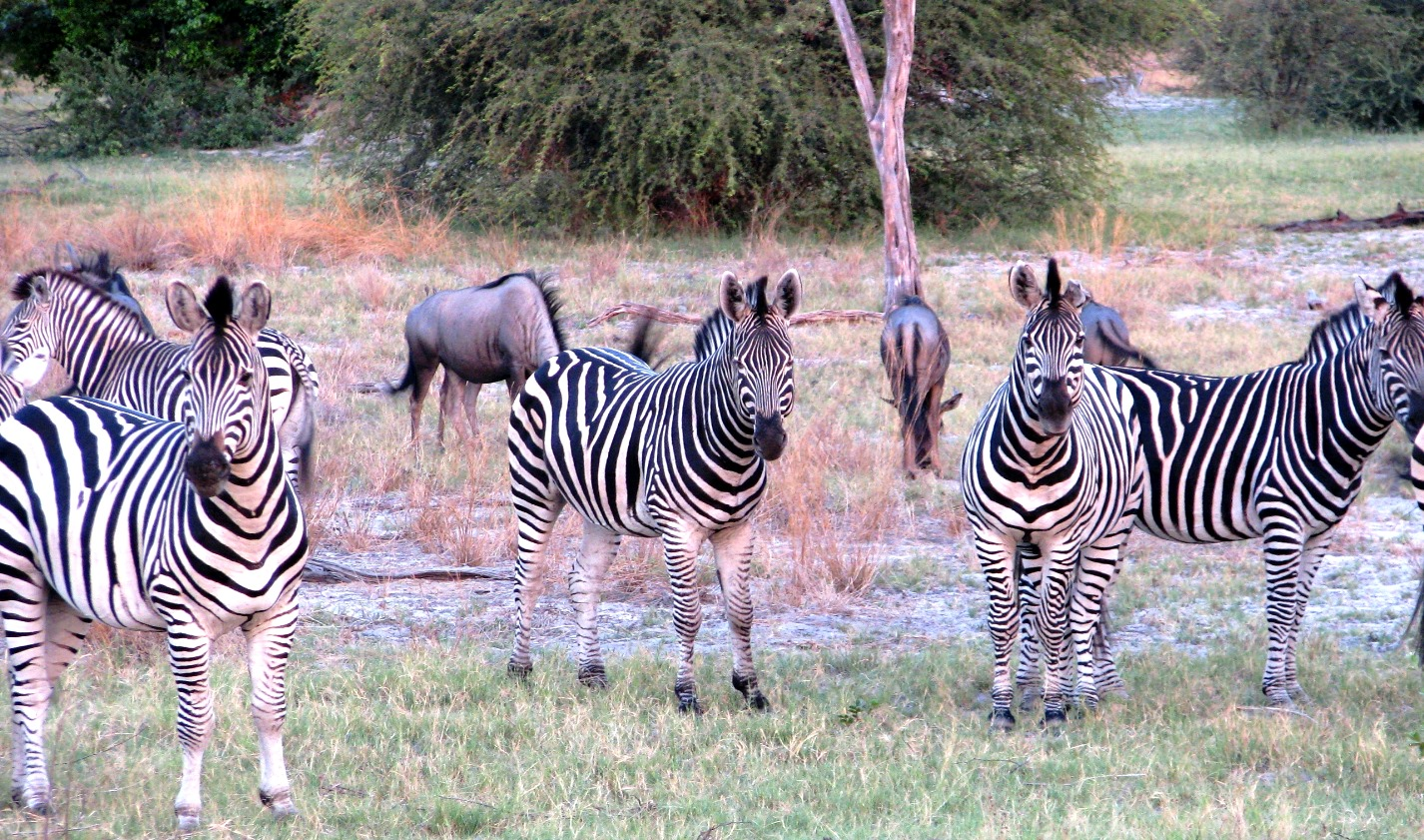 Zebra and wildebeest other savanna grazers from the ground look very different from the air.