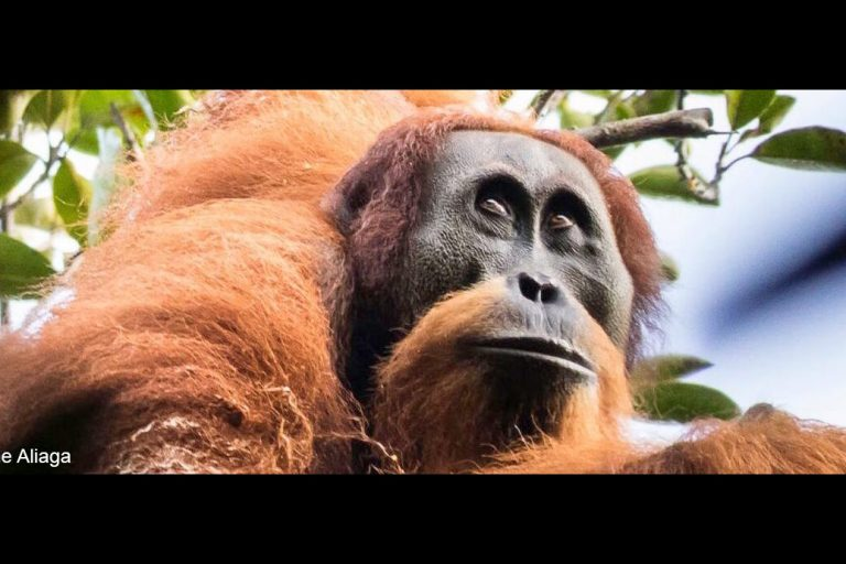 The Tapanuli orangutan, the world's rarest species of great ape. Photo © Maxime Aliaga.