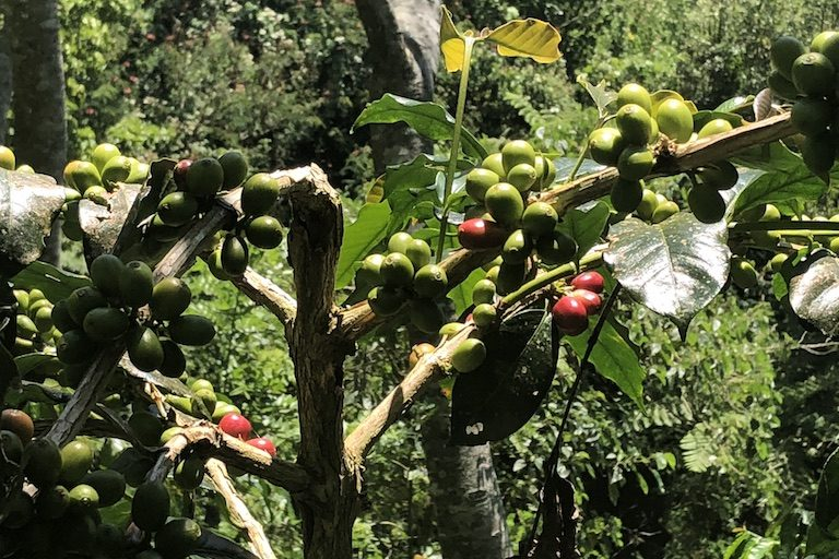 Ripening coffee along the path to Wae Rebo. Image by Sarah Hucal for Mongabay.
