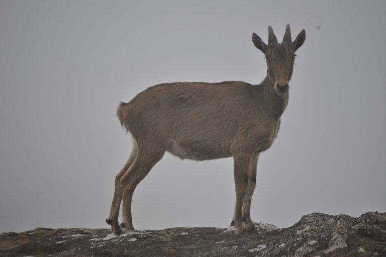 Rare mountain-dwelling Nilgiri tahr could lose 60% of