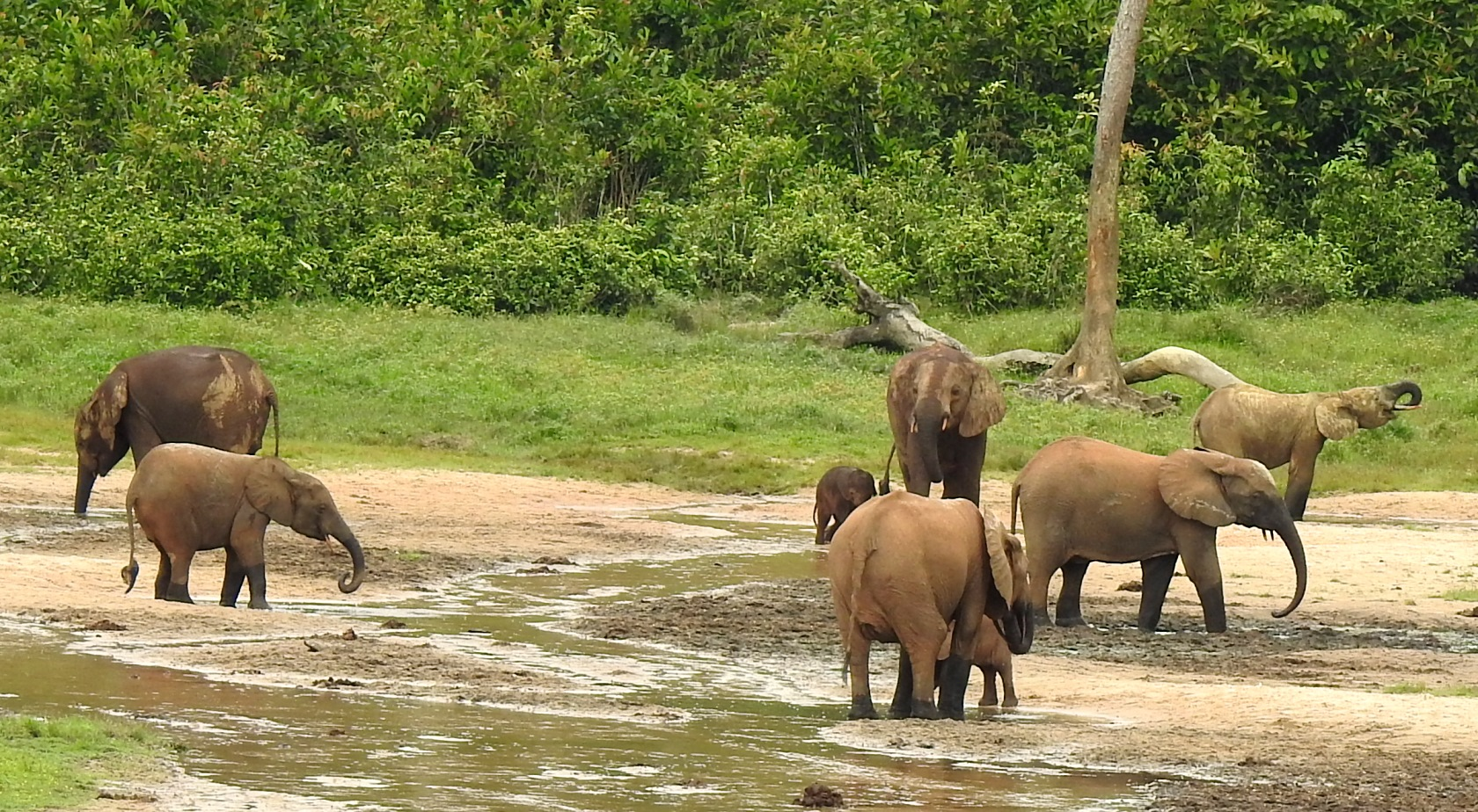 Forest elephants drinking in honor of World Elephant Day, August 12. Their persistence is critical to the regeneration of most large rainforest trees in Central Africa.
