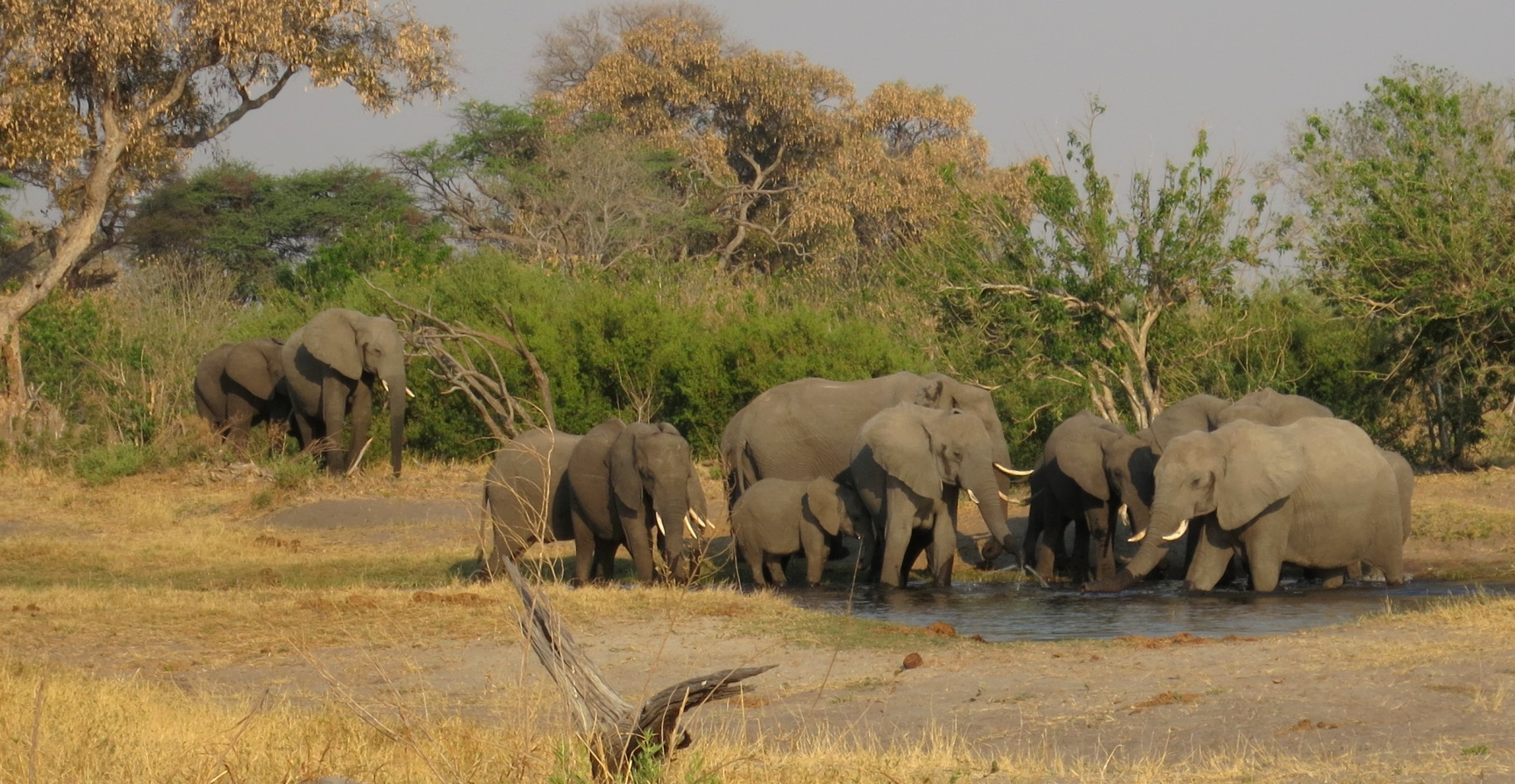 A herd of savanna elephants at a water hole in Chobe National Park, Botswana.