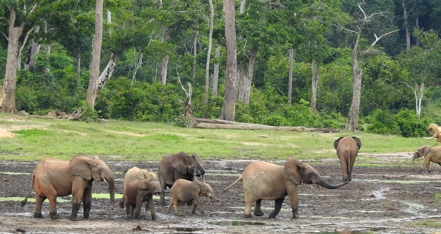 Forest elephants at Dzanga-Sangha National Park in Central African Republic are smaller, with more rounded ears and straighter tusks, than savanna elephants.