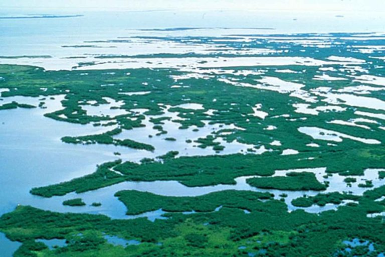1024px-Mangrove_plants_swamp_in_Florida-768x512