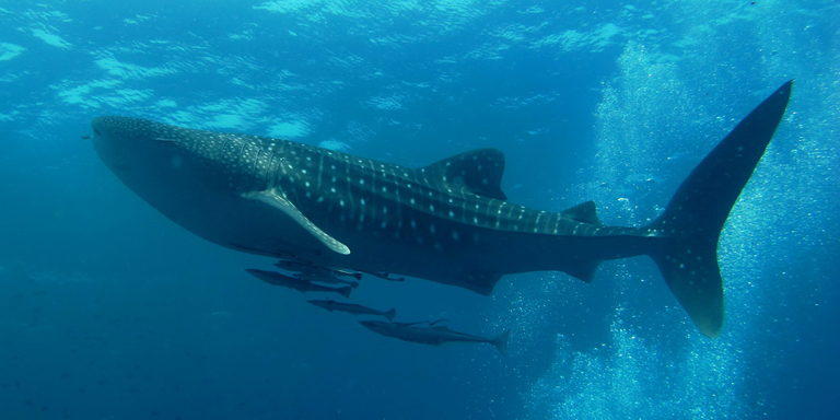 Scientists say endangered whale sharks can live up to 130 years