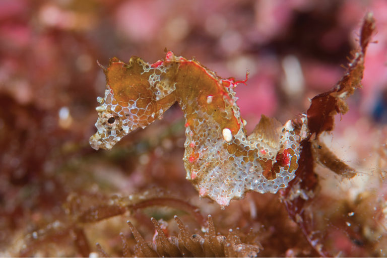 The Japan pig is a tiny colorful pygmy seahorse smaller than a fingernail