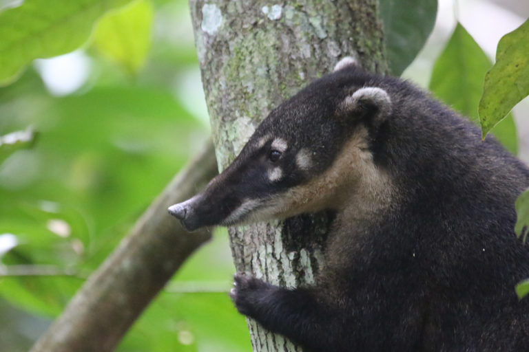 Coatimundi in Brazil. Photo by Rhett A. Butler.