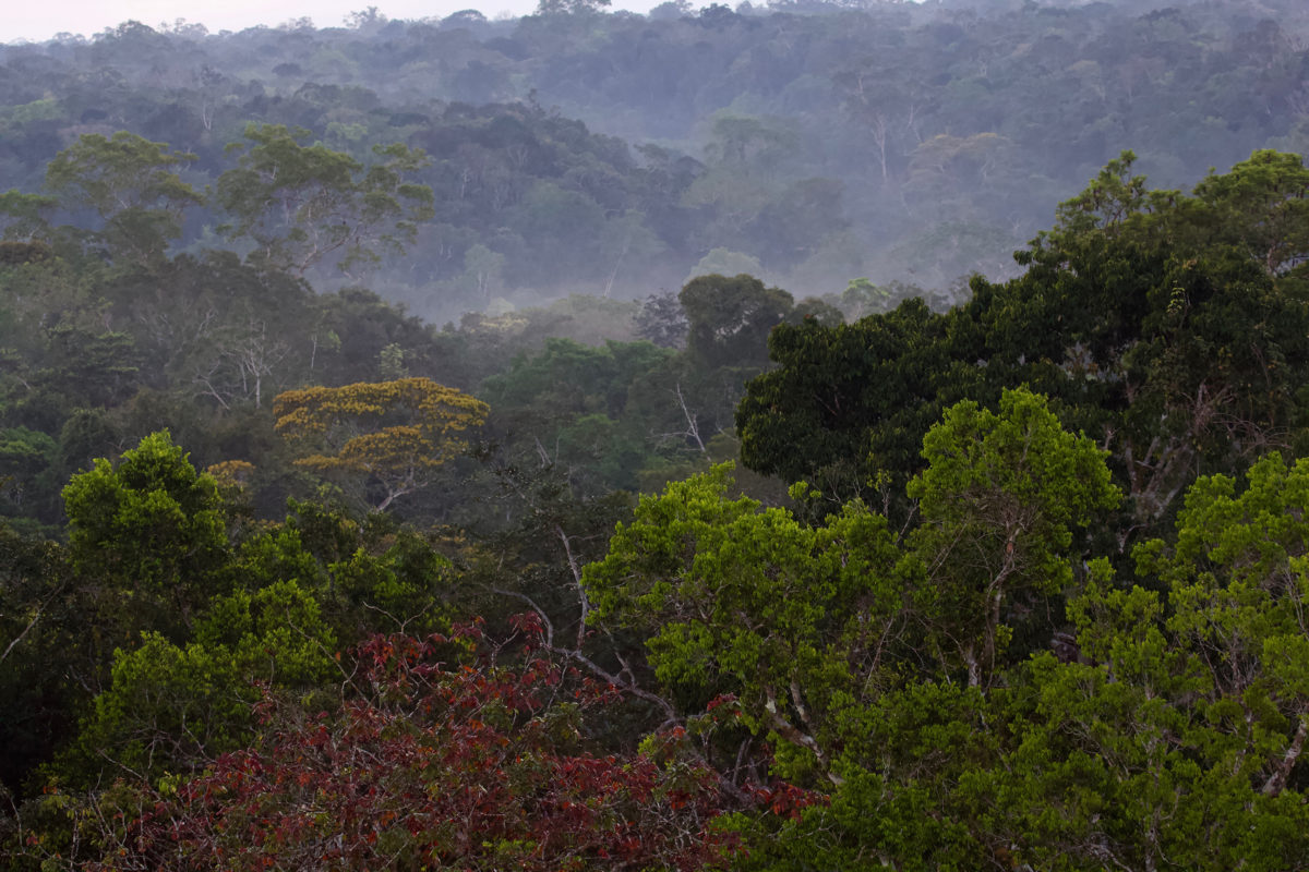 The forests of the Guiana Shield are home to over 400 endemic bird species. Image Credit: Luciano N Naka (Photo taken near Manaus).