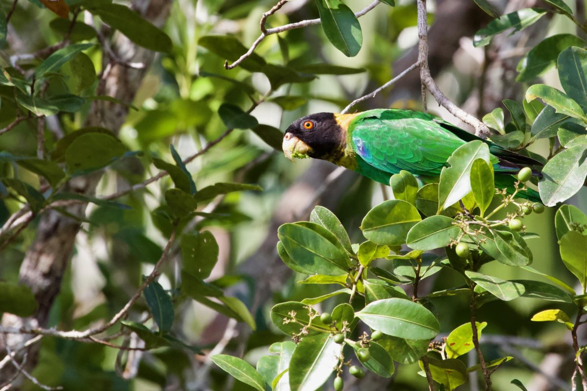 The Caica Parrot (Pyrilia caica) is replaced by the Orange-cheeked parrot (Pyrilia barrabandi) – both endemic to the Guiana Sheild - across the lower Rio Negro and the Rio Branco. Image Credit: Luciano N Naka.