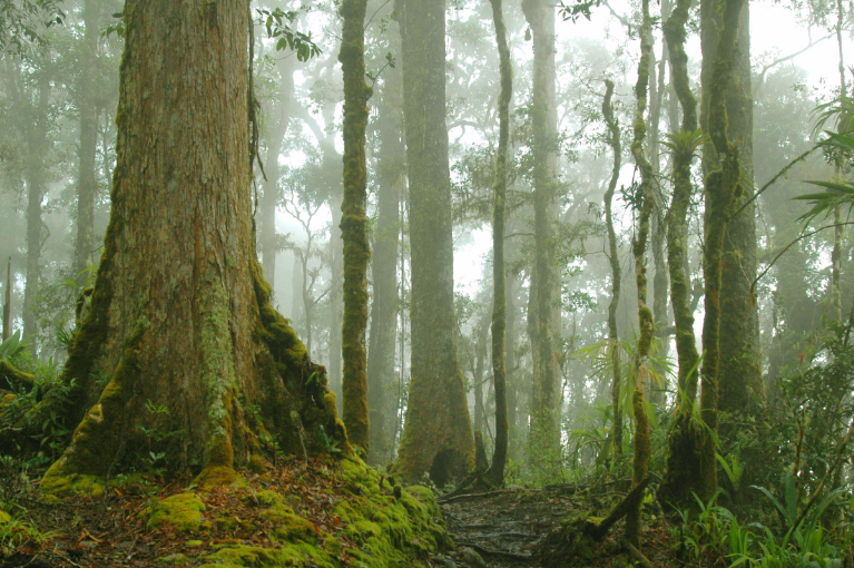 Montane forest near Chirripo, Costa Rica. Cloud forests in tropical mountains are sensitive to small variations in temperature or precipitation.