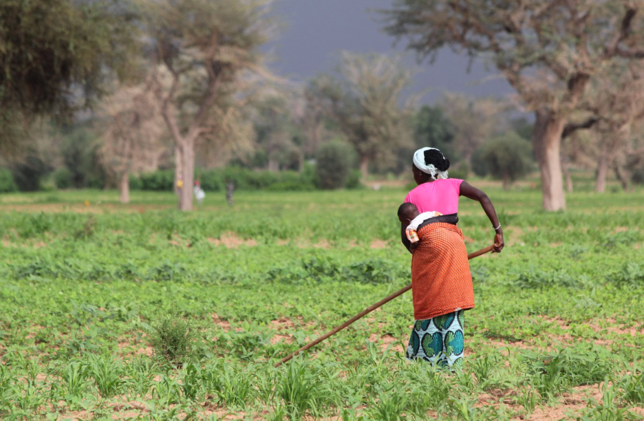 A woman in Senegal farms short-cycle cowpeas instead of millet due to poor seasonal rains, which are expected to become more frequent as climate changes. REDD+ aims to reduce emissions from forest loss.