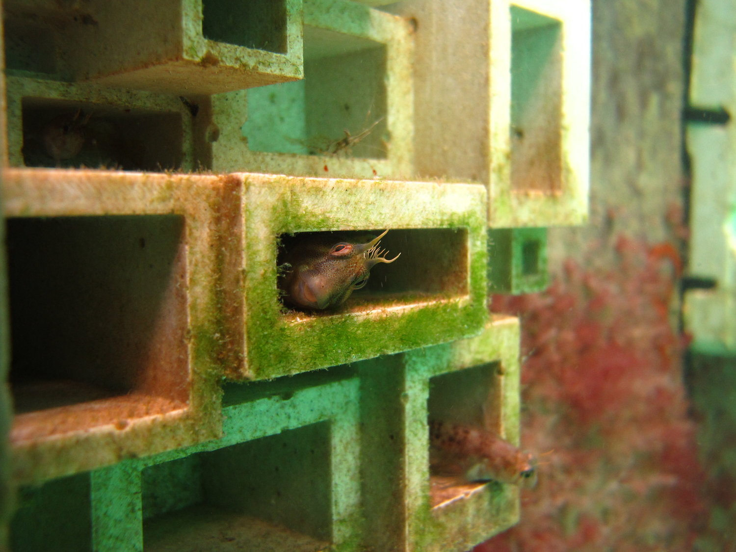 A Tasmanian blennie takes shelter in one of Reef Design Labs' 3D printed habitat panels.