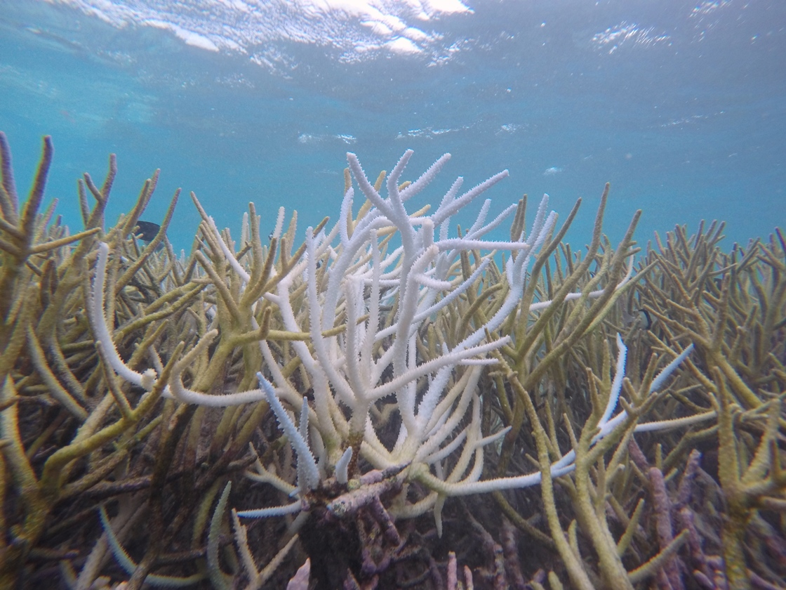 A bleached staghorn coral in the Maldives after the 2016 El Niño.