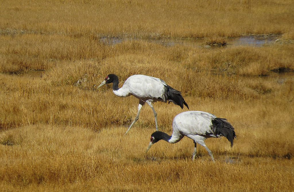 For India's black-necked cranes, dogs are a major threat
