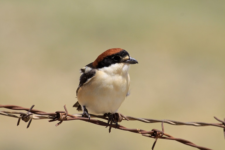 Woodchat shrike (Lanius senator). Photo courtesy Anton Khalilieh.
