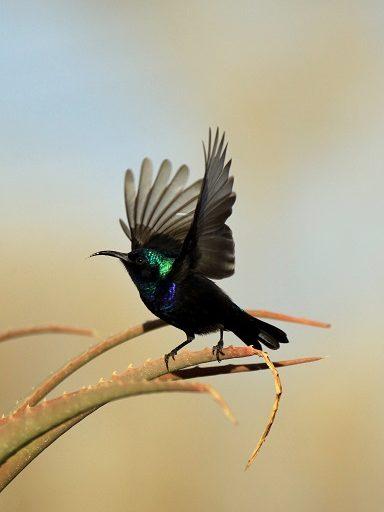 Palestine sunbird (Cinnyris osea). Photo courtesy Anton Khalilieh.