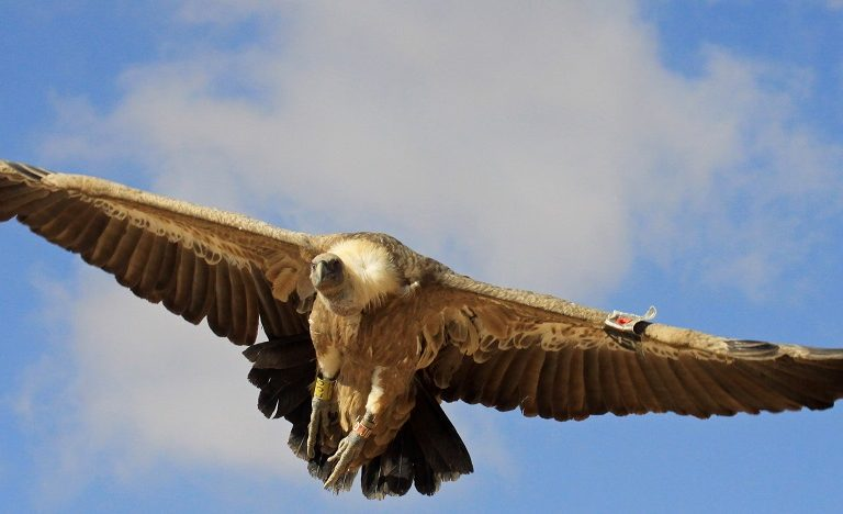 Griffon vulture (Gyps fulvus). Photo courtesy Anton Khalilieh.