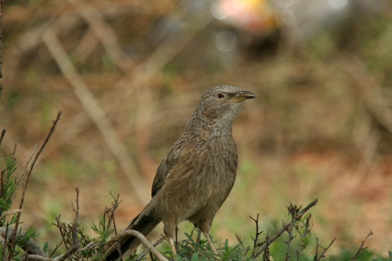 Arabian babbler (Turdoides squamiceps). Photo courtesy Anton Khalilieh.