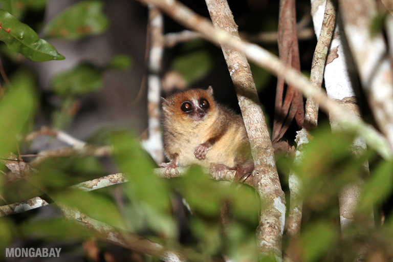 Ranomafana is famous for its rick diversity of lemurs, like this mouse lemur. Photo by Rhett A. Butler.