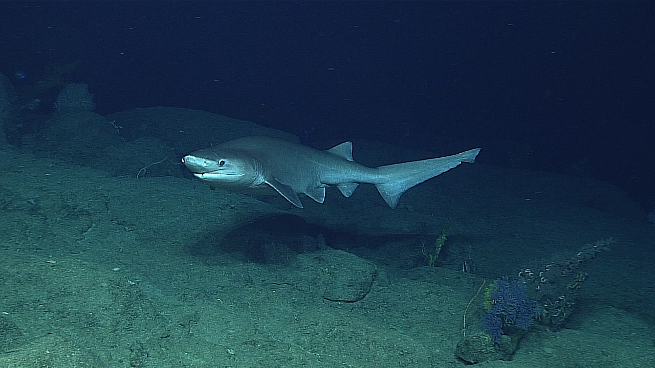 A bluntnose sixgill shark, seen by a National Oceanic and Atmospheric Administration (NOAA) remotely operated vehicle during a U.S. government exploration of the Marianas Trench in April 2016.