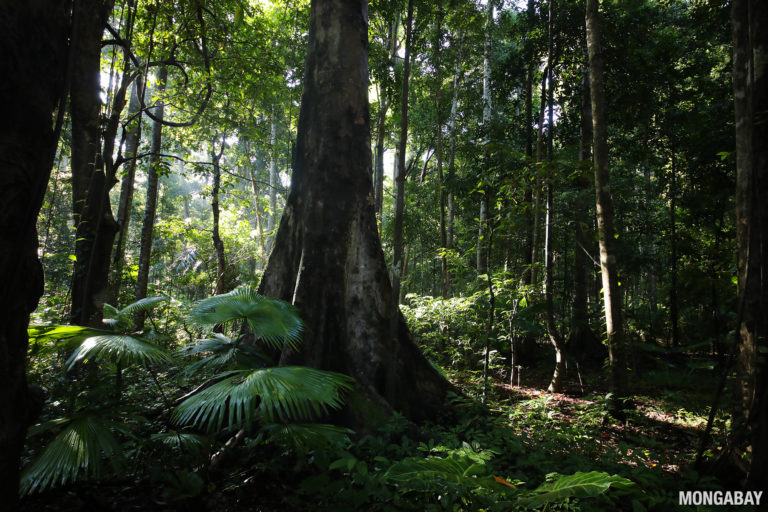 Lowland rainforest in Indonesia. The forests of Indonesia, Malaysia, and Papua New Guinea store vast amounts of carbon but are being destroyed and degraded by demand for timber, wood pulp, and palm oil. Photo by Rhett A. Butler.