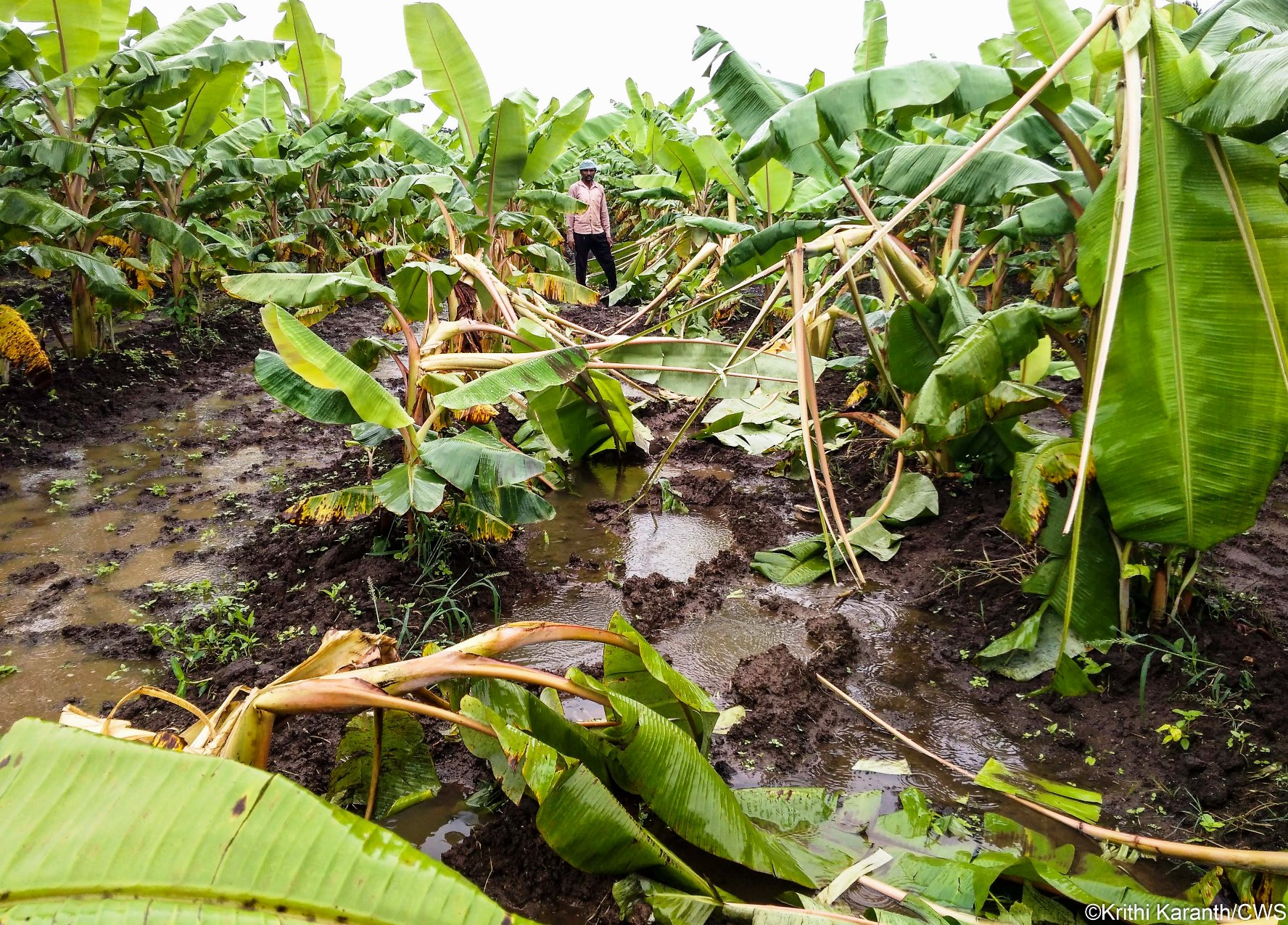 An Indian farmer in his banana field damaged by opportunistic elephants moving through the area.
