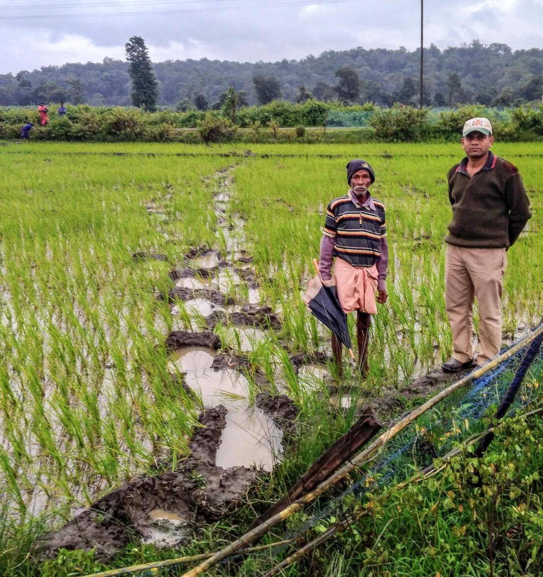 A farmer (left) shows a Wild Seve field assistant the tell-tale marks left by elephant feet across a rice paddy field that lies in the path of their migration.