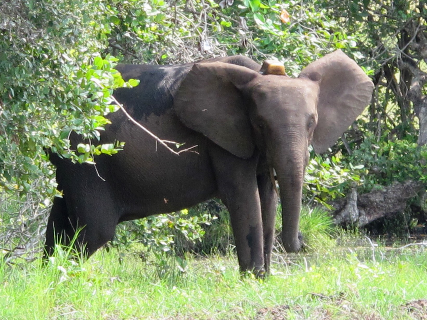 An elephant in Gabon's Loango National Park wearing a collar fitted with a GPS tracking tag at the top. The WIPER sensor would be integrated into the unit.