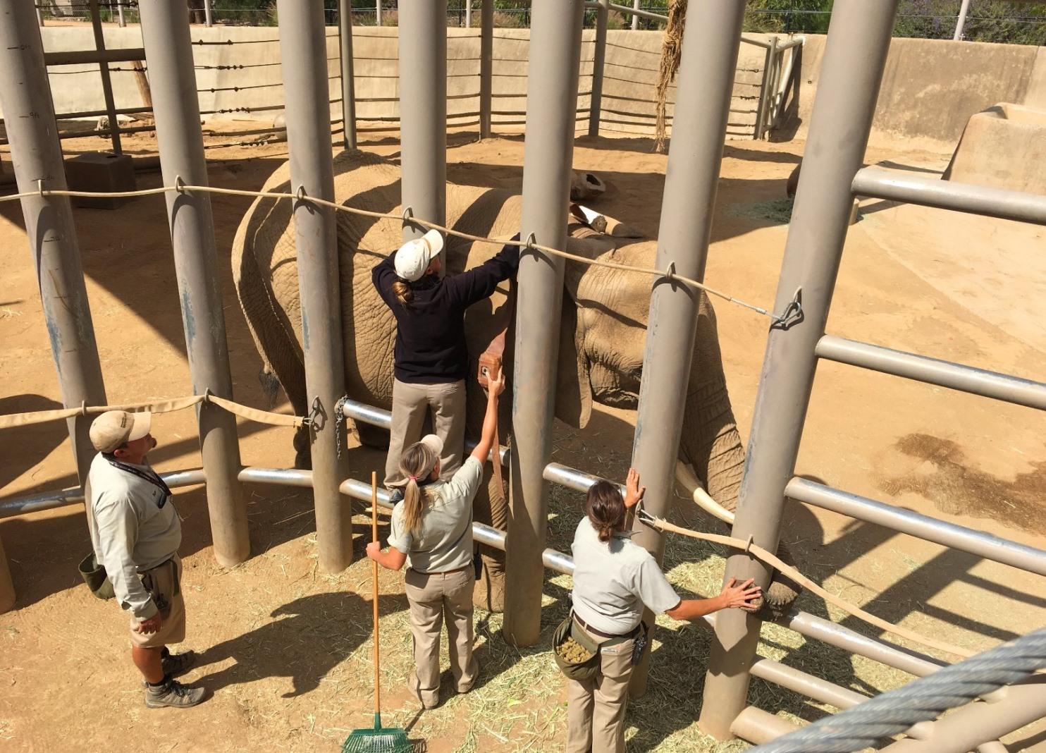 Installing the sensor at the San Diego Zoo. In the wild, this process will require tranquilizing the elephant before fitting the tracking collar.