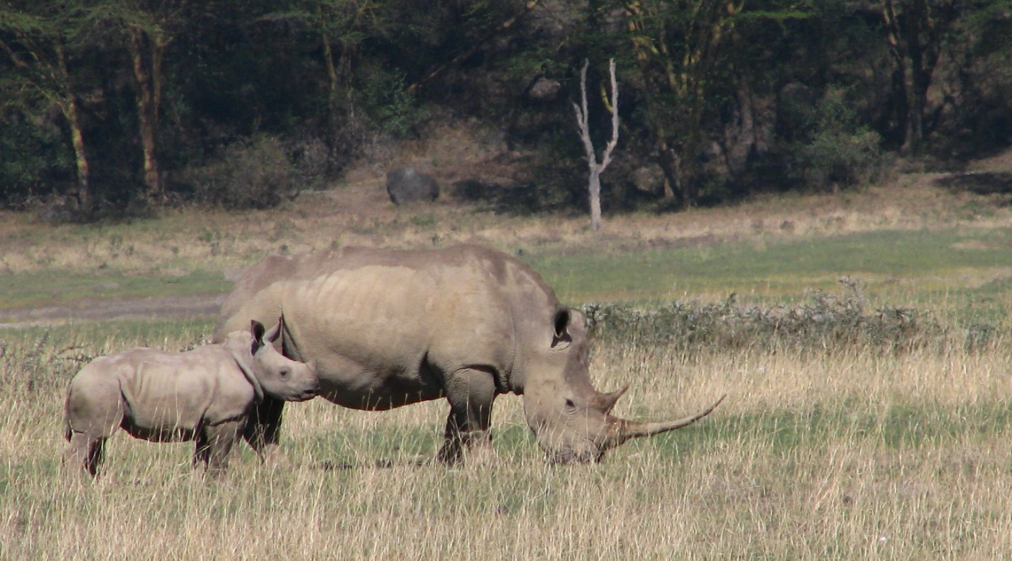 A grazing white rhino and calf at Lake Nakuru National Park in Kenya. The shape of a rhino's skull hampers the use of standard tracking collars.