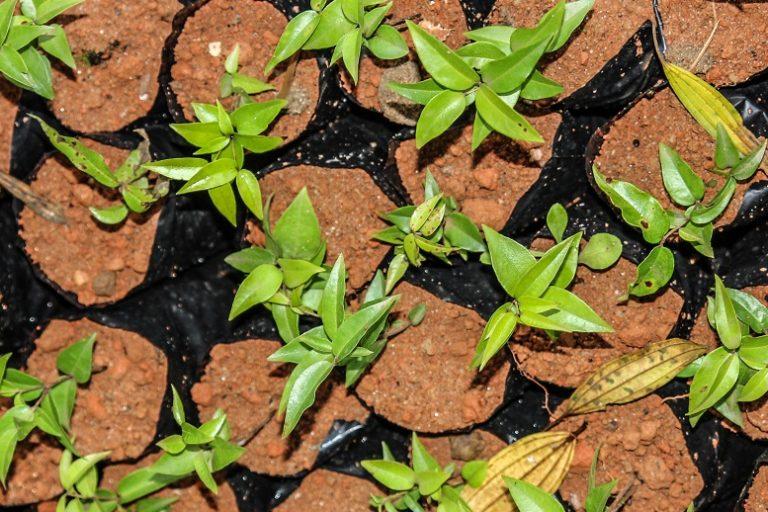Seedlings in Brazil. Photo courtesy Guilherme Rodrigues.