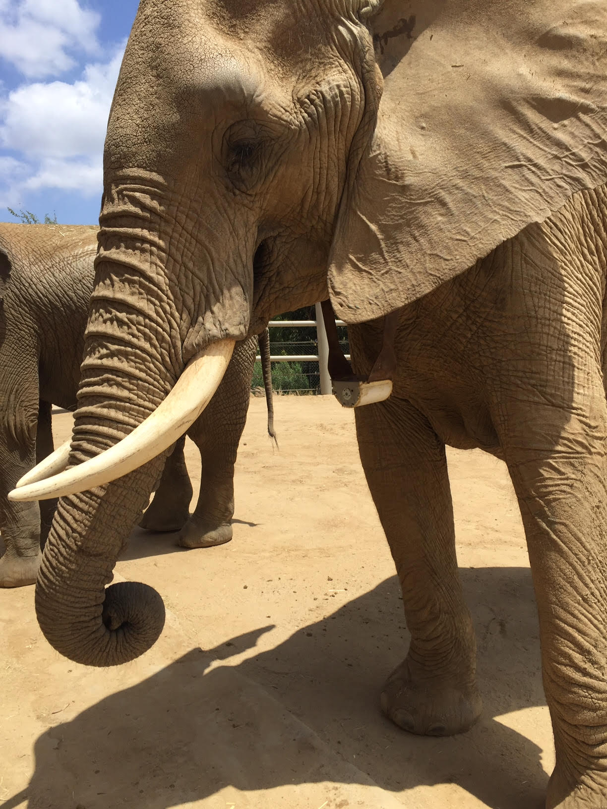 An elephant wearing the first-phase WIPER sensor on a tracking collar at the San Diego Zoo and Wildlife Park.