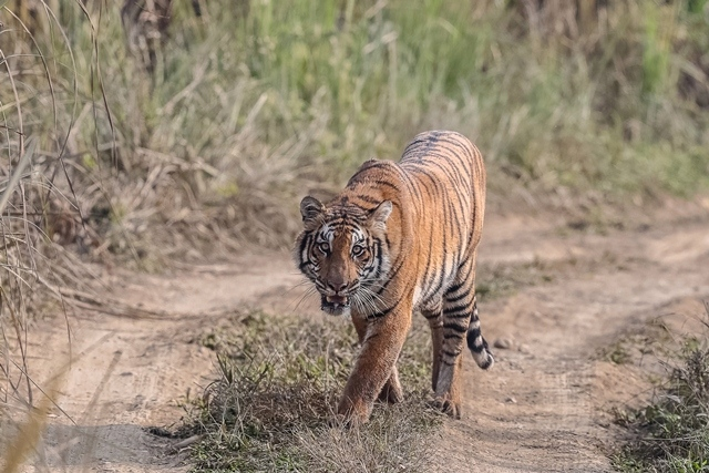 A tiger on the move. Tigers commonly transit between Nepal's lowlands and neighboring countries.