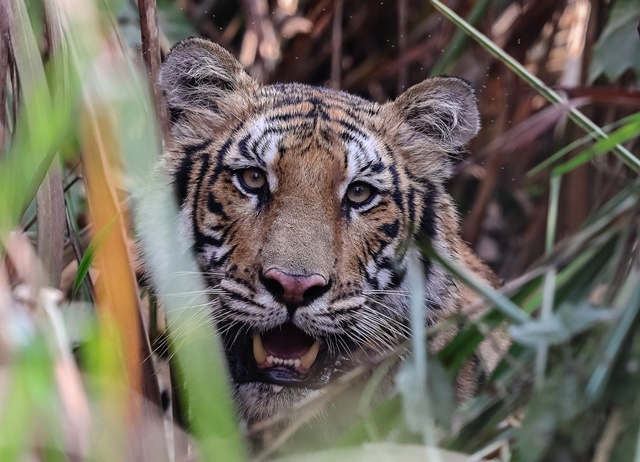 Up close with a Bengal tiger in Chitwan National Park, Nepal.