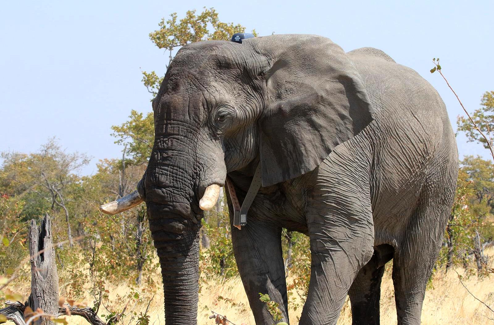 An elephant wearing a satellite tracking tag on a collar. Tags send the animal's location every hour or other set time period to a satellite, which transmits the information to the researcher.