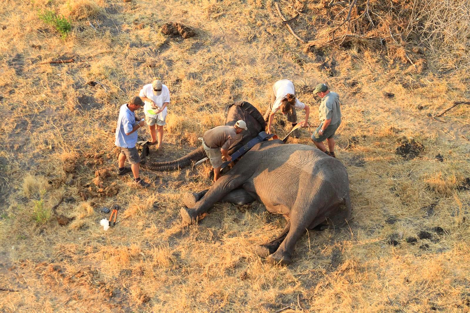 It takes a team--Elephants Without Borders scientists deploy a tracking collar on an elephant.