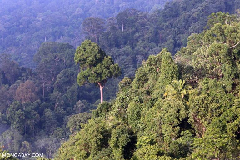 Indonesian rainforest in Bukit Tigapuluh, Sumatra. Photo by Rhett A. Butler.