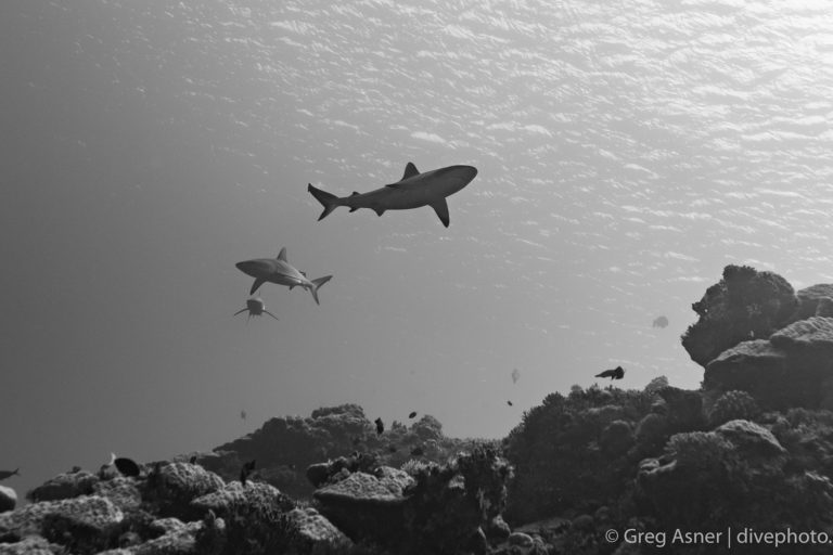 Patrolling sharks on a post-nuclear reef. Image by Greg Asner.