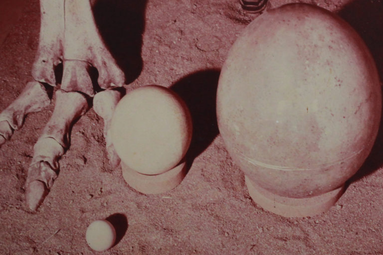 Size comparison between the eggs of an elephant bird, ostrich, and chicken. Courtesy of the museum at Berenty.