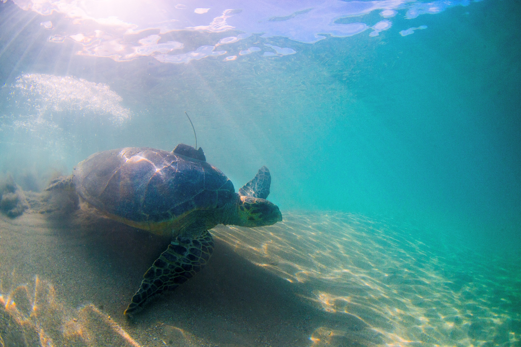 Tilly, a hawksbill turtle, heads to sea after her release from the island of Nevis.