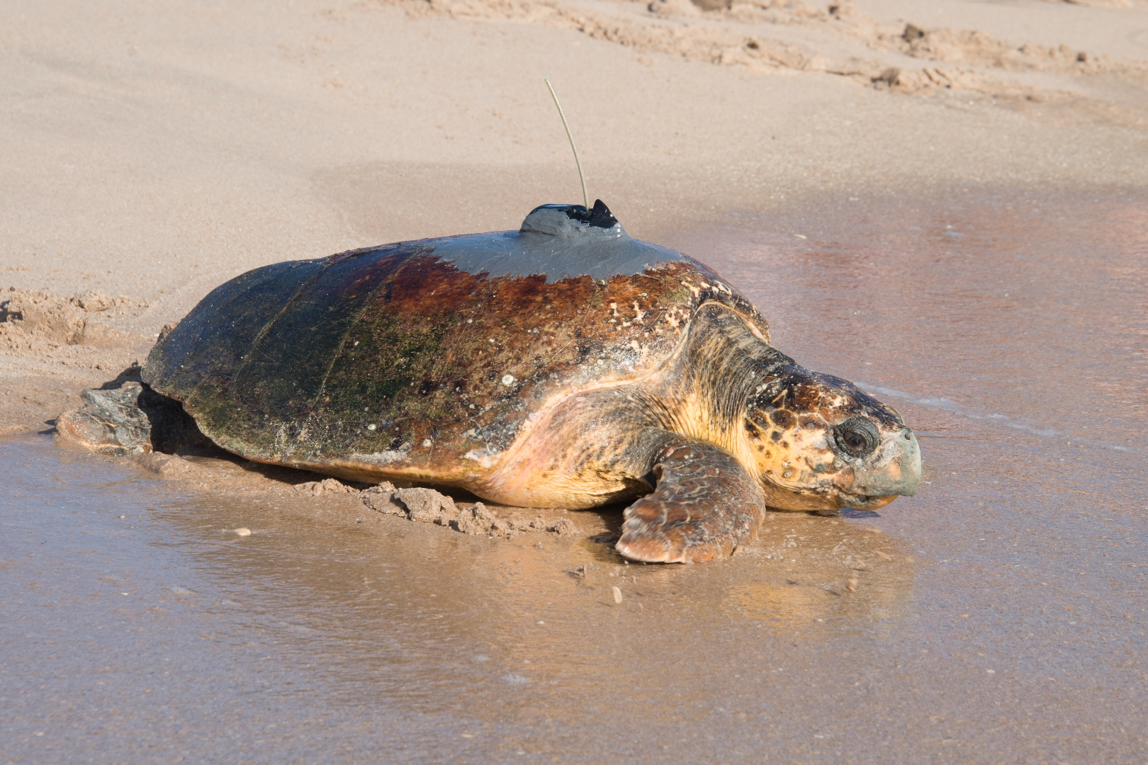 A loggerhead turtle named Turtlette is equipped with a satellite transmitter on her carapace and released from Melbourne Beach, Florida for this year's Tour de Turtles.